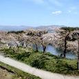 08_五稜郭の桜